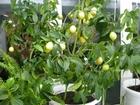 Смотреть фото  Лимонелла - карликовый лимон 68002675 в Абакане
