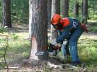 Свежее foto  Санитарная вырубка деревьев (пилка, резка, рубка деревьев) во Владивостоке 36164462 в Владивостоке