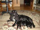Изображение в Собаки и щенки Продажа собак, щенков Черные грудка белаяенки спаниэля хвосты купированы в Азове 0