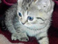Продам британских котят не дорого Продам симпатичных британских котят не дорого