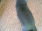 Фото в Кошки и котята Продажа кошек и котят Продам кота недорого веслоухой британец к в Барнауле 1500