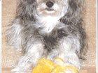 Фото в Собаки и щенки Продажа собак, щенков щенка карликого пуделя без родословной девочку. в Барнауле 0