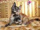 Изображение в Кошки и котята Продажа кошек и котят Продается крупная кошечка мейн-кун, окрас в Барнауле 0