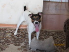 Скачать бесплатно foto Вязка собак кобель для вязки 38309868 в Барнауле