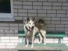 Свежее фото Продажа собак, щенков кабель для вязки западно-сибирская лайка 39199842 в Барнауле