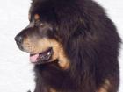 Просмотреть изображение Услуги для животных Кобель Тибетского Мастифа Норман, для вязки 40197308 в Барнауле
