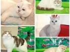 Смотреть фотографию Вязка кошек вязка шикарными котами шотландской и британской породы 42423552 в Барнауле