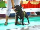 Просмотреть фотографию Вязка собак Кобель на вязку с родословной, выставочный 69933638 в Барнауле