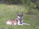 Скачать бесплатно фотографию Вязка собак Западносибирская лайка (девочка) ищет пару для вязки 70941791 в Барнауле