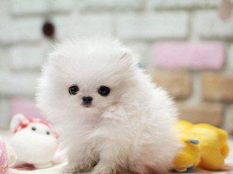 Скачать бесплатно изображение Собаки и щенки Померанский миниатюрный шпиц 32629767 в Бийске