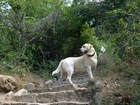 Новое фото  Молодой кобель лабрадора (2 г, 10 мес,) ищет невесту 69501470 в Белгороде