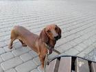 Свежее изображение Вязка собак такса кобель, вязка ищет дамму 69795705 в Белгороде
