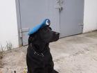 Смотреть фотографию  Молодой лабрадор ретривер -вязка 73838952 в Белгороде