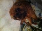 Фотография в Потерянные и Найденные Потерянные Потерялась собака Гриффон самочка, 3 года в Белово 0
