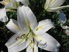 Изображение в Домашние животные Растения Продаю луковицы лилий LA-гибридов. Продаём в Благовещенске 50