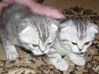 Изображение в Кошки и котята Продажа кошек и котят Продам котёнка шотландской короткошерстной в Благовещенске 5000