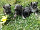 Фотография в Собаки и щенки Продажа собак, щенков Продаются щенки чихуахуа. Пять очаровательных в Брянске 8000