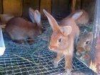 Фотография в   Продаются кролики Метисы, разных возрастов-Привиты. в Брянске 0