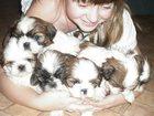 Изображение в Собаки и щенки Продажа собак, щенков детки шитцу 1 мес не леняют не аллергичны в Брянске 8000