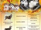 Фотография в Собаки и щенки Продажа собак, щенков Букетик расписных маламутов. К продаже свободны в Брянске 0