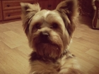 Изображение в Собаки и щенки Вязка собак Предлагаем мальчика Йоркширского терьера в Брянске 2000