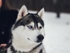 Фото в Собаки и щенки Вязка собак Кобель чистокровной породы хаски готов для в Брянске 15000