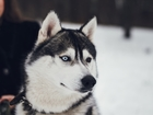 Смотреть фото Вязка собак г, Брянск, Предлагаем для вязки молодого кобеля (НЕ РАЗВЯЗАН), 38466771 в Брянске