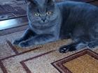 Изображение в Кошки и котята Вязка Британский котик приглашает вашу красотку. в Брянске 1000