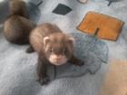 Свежее фото Грызуны Продаются щенки хорька 38844377 в Брянске
