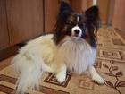 Скачать бесплатно фото Вязка собак Чистокровный кабель(папийон) ищет невесту для вязки 39632950 в Брянске