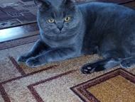 Вязка котов Британский котик приглашает вашу красотку. Опытный настойчивый. Имее