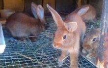 Кролики метисы