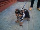 Просмотреть foto Вязка собак Молодой,темпераметный Мини-Йорк для вязки, 60726938 в Чебоксарах