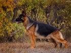 Смотреть foto Вязка собак Предлагается для племенного разведения кобель породы немецкая овчарка стандарт 54890252 в Челябинске