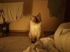 Уникальное foto Вязка кошек Ищем невского или сибирского мужа (вязка) для кошки 55381850 в Челябинске