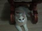 Новое фото Вязка кошек Милка КОТИКА ДЛЯ ВЯЗКИ ОНА ИЩЕТ ЕГО 55712229 в Челябинске