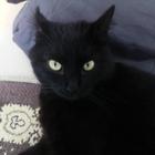 Продам чисто черного кота полубритана