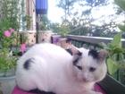 Скачать бесплатно foto Вязка кошек приглашение к знакомству кошечки 60384837 в Чите