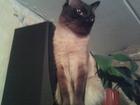 Скачать фотографию Вязка кошек Сиамский кот, Ждёт сиамку, 64906407 в Чите