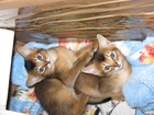 Фото в Кошки и котята Продажа кошек и котят АБИССИНСКИЕ КОТЯТА (мальчик и девочка) ДИКОГО в Дмитрове 25000