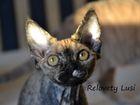 Фотография в Кошки и котята Продажа кошек и котят Черная черепаховая кошечка Relovety Lusiana, в Дмитрове 25000