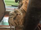 Фото в   Шотландский вислоухий котик ищет невесту в Москве 3000