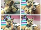 Скачать бесплатно фото  Стрижка собак 37589216 в Домодедово