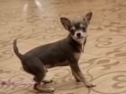 Фото в   Ваша мечта о крошечном чихуахуа уже ждет в Домодедово 15000