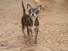 Фотография в Собаки и щенки Продажа собак, щенков Хотите иметь крошечного чихуа-хуа редкого в Ступино 15000