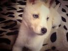 Фотография в   Девочка, 2, 5 месяца, цвет изабеловый, глаза в Донецке 0