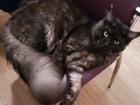 Скачать фото Вязка кошек Мейн кун приглашает невесту на вязку 59460331 в Егорьевске