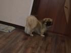 Уникальное фотографию Вязка собак Пекинес Вязка собак (случка) Ейска 68371177 в Ейске