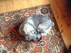 Свежее изображение Вязка собак Кобель миттельшнауцер для вязи 32578710 в Екатеринбурге