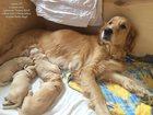 Фотография в Собаки и щенки Продажа собак, щенков Питомник Антарес Норд предлагает высокопородных в Екатеринбурге 25000